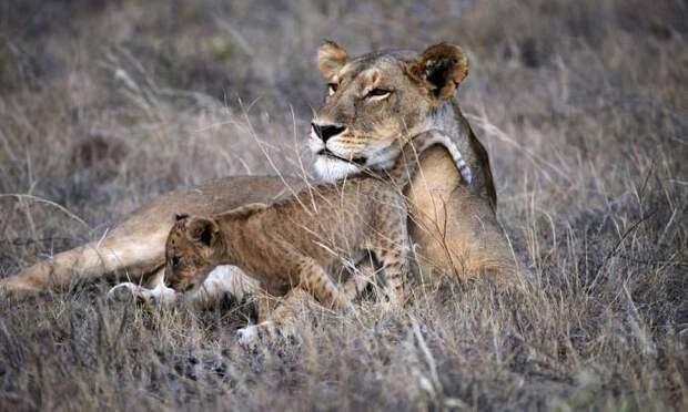 Супруги оставили цивилизацию и растят детей в Кении с обезьянами, львами и слонами