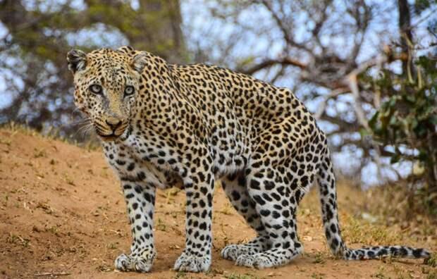 Леопард напал на сафари-гида животные, леопард, сафари парк
