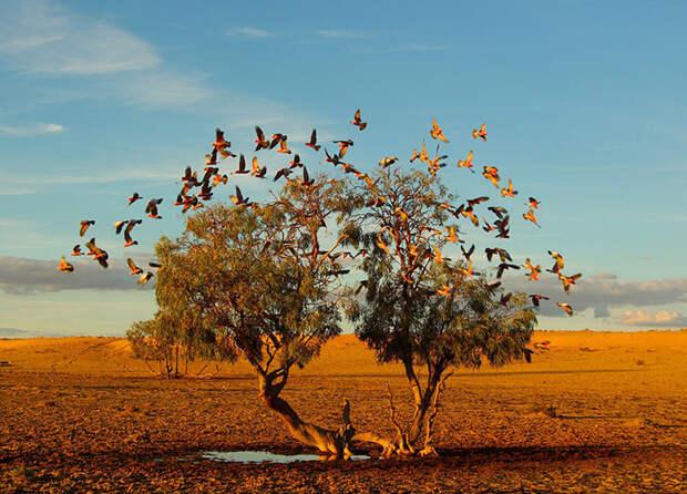 Розовые птицы взлетают с дерева в пустыне (Christian Spencer, Австралия).