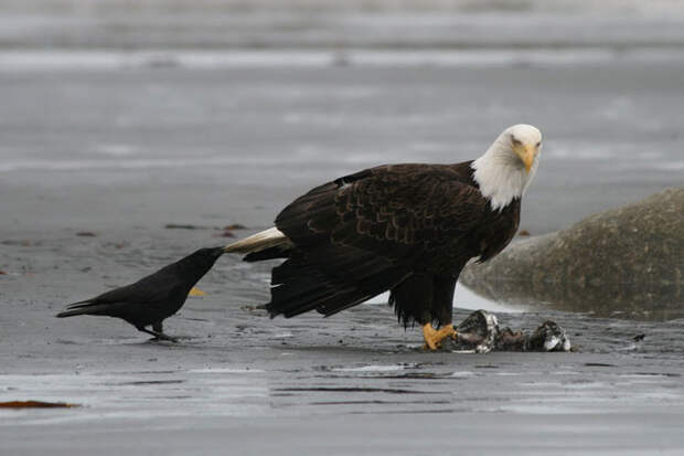 crows-tease-animals-peck-bite-tails-trolls-corvids-11