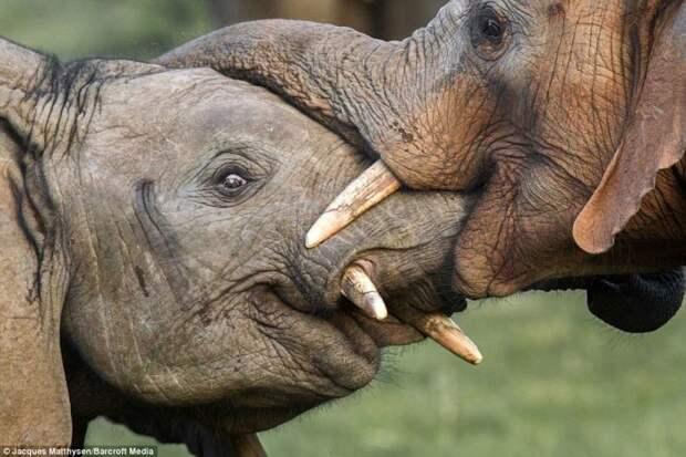 Слоновья любовь: вы когда-нибудь видели как целуются слоны?