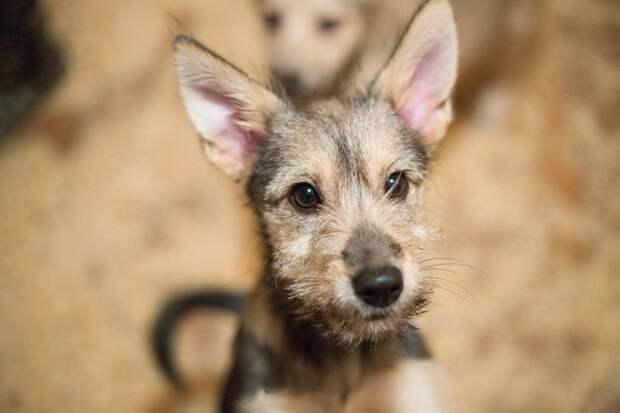 Хозяева не смогли понять, что маленький щенок - это не игрушка собака, терьер, щенок