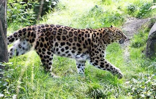 В Приморском сафари-парке самка леопарда подружилась с женихом