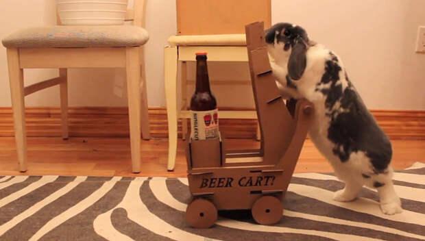 Толстый кролик научился привозить пиво своему хозяину