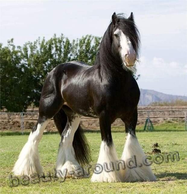 Шайр (Английский тяжеловоз) лошади