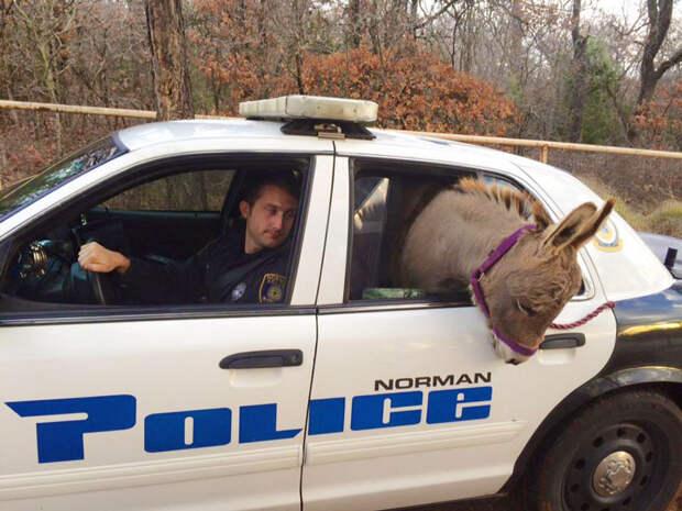 Полицейский забрал ослика с оживленной трассы, и усадил в свою служебную машину ослик, подарок, полицейский