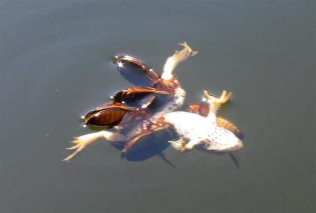 жуки-плавунцы поедают мертвую лягушку