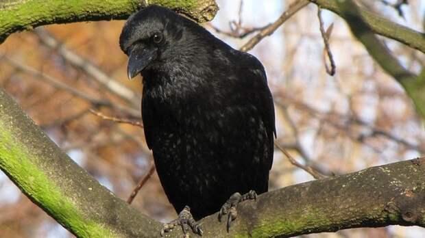 Гуляющего на поводке ворона заметили в Красносельском районе Петербурга