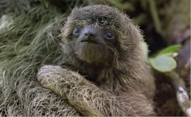 17 удивительных фактов о ленивцах 13