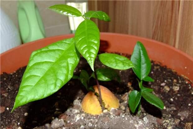 Экзотические фрукты из косточки