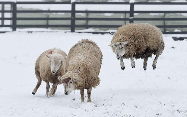 Овцы в графстве Дарем, как Великобритания