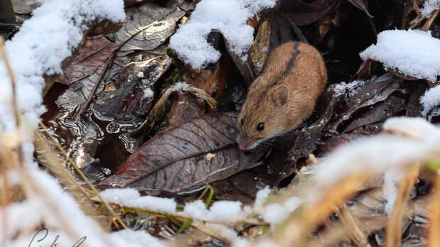 Полевая мышь попала в объектив «Мосприроды» возле Яузы