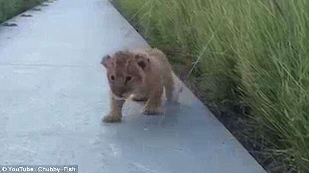 Львенок пытается рычать впервые в жизни