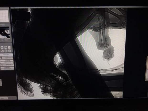 «Его держали привязанным за лапу! Она почти оторвалась!» Ночью Олесе привезли барсука…
