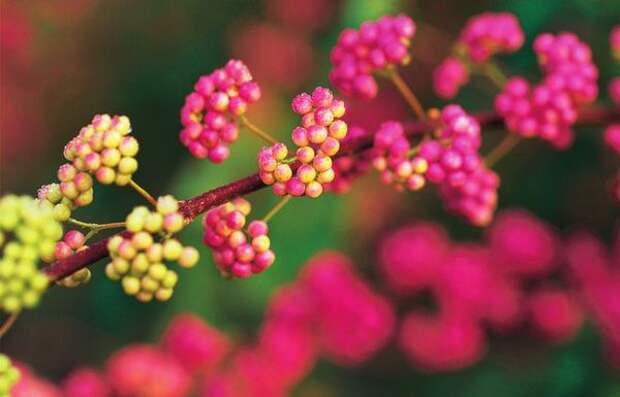 Красивоплодник японский (Callicarpa japonica)