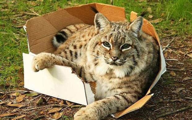 Большие кошки в коробках животные, картинки, фото