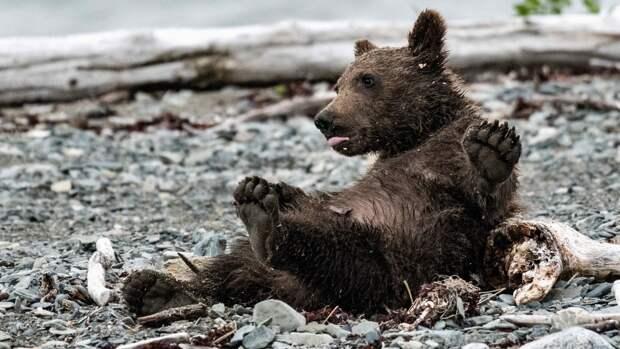 Иркутский питомник приютил найденного на трассе медвежонка