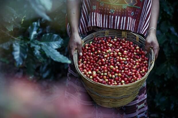 Как регион произрастания влияет на химический состав кофе? Проследим взаимосвязь.