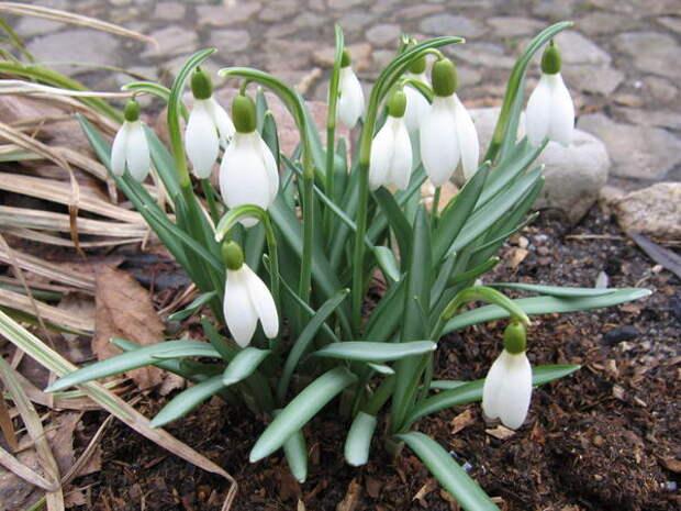 Нераскрывшийся цветок галантуса напоминает молочную каплю