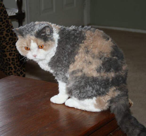 Селкирк-рекс — невероятная порода кошек, которая завоюет ваше сердце
