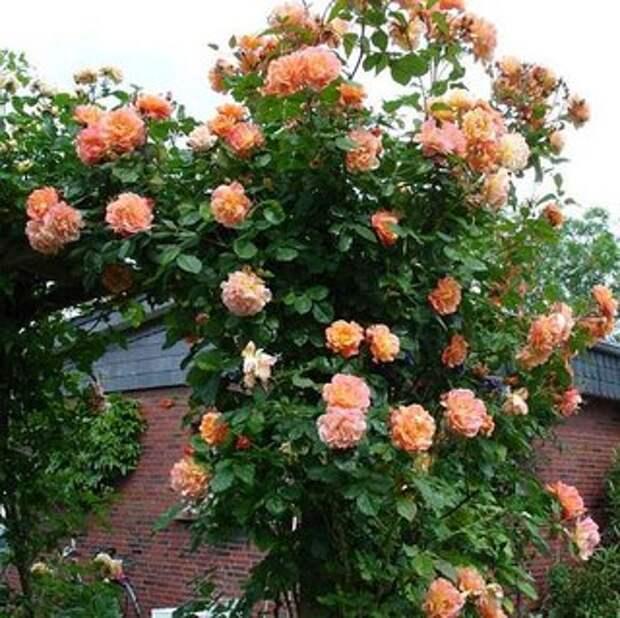 Плетистые розы.