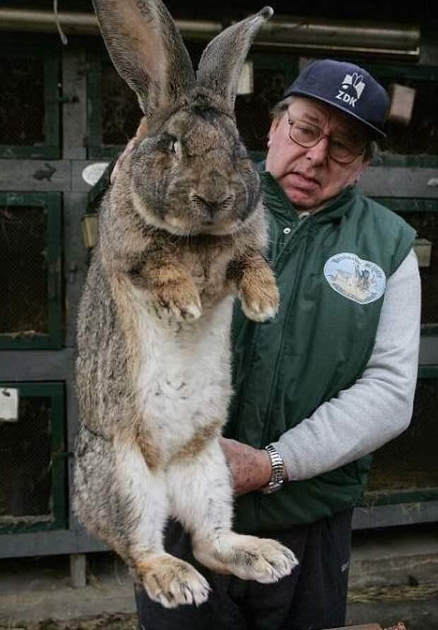 Крыса-великан и другие животные-гиганты гиганты, животные, животные-чемпионы, интересно, монстры, необычно, познавательно, самые большие животные