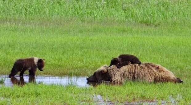 Тяжело быть мамой: неугомонные детишки мешают медведице отдыхать видео, дикая природа, животные, медведи, медвежата, милота, фото