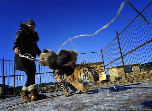 """Хозяйка семейного зоопарка """"Чудесный"""" Екатерина Зотова играет с семимесячной амурской тигрицей по кличке Кристал.  """"Чудесный"""", Семейный, зоопарк, уссурийск"""
