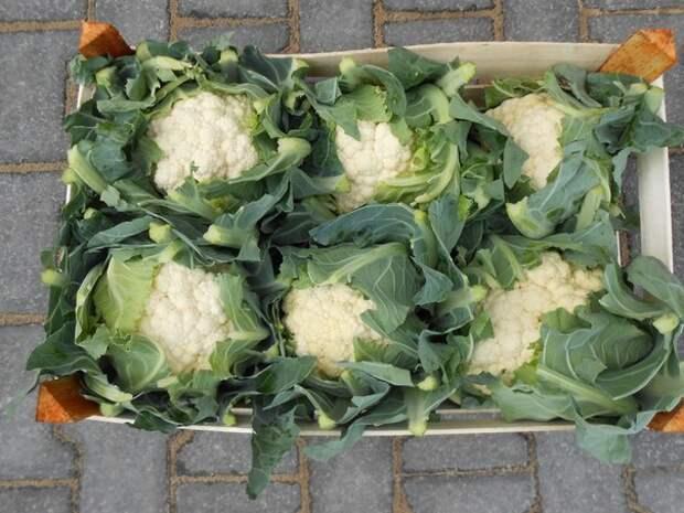 Как вырастить цветную капусту сочной и крупной!
