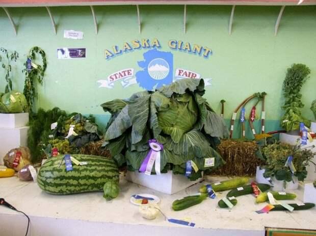Почему на Аляске растут овощи-гиганты?