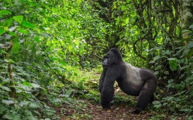 Непроходимый лес Бвинди в Уганде