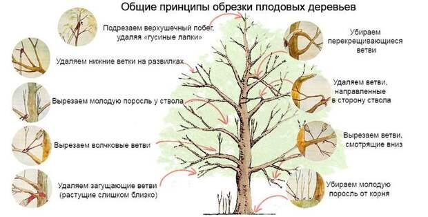 Общие принципы обрезки яблони