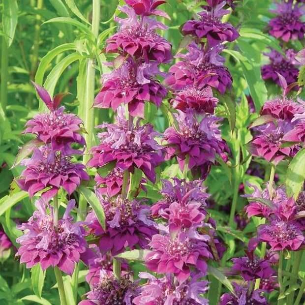 Монарда гибридная Бергамо (Monarda hybrida). Фото с сайта vernonplants.com