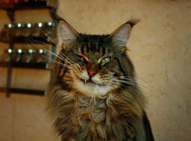 1. Когда тебе сказали, что ты самый прекрасный из домашних котов домашний питомец, животные, забавно, кот, мейн-кун, фото, юмор