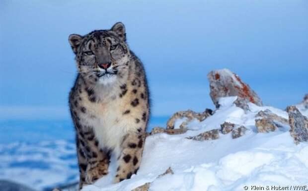 Пост восхищения снежными барсами
