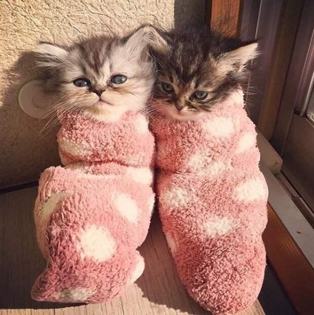 50 котят породы мейн-кун, которые ещё только ждут своего взросления