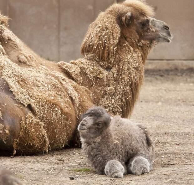22. Крошечный, практически плюшевый, верблюжонок детеныш, животные