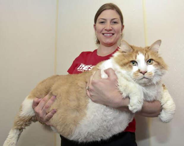 14. Такой живот дорогого стоит! животные, коты, милота, огромные коты