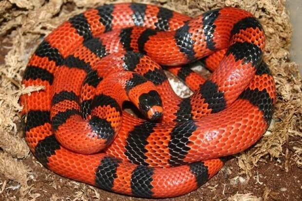 Поперечнополосатые королевские змеи животные, факты