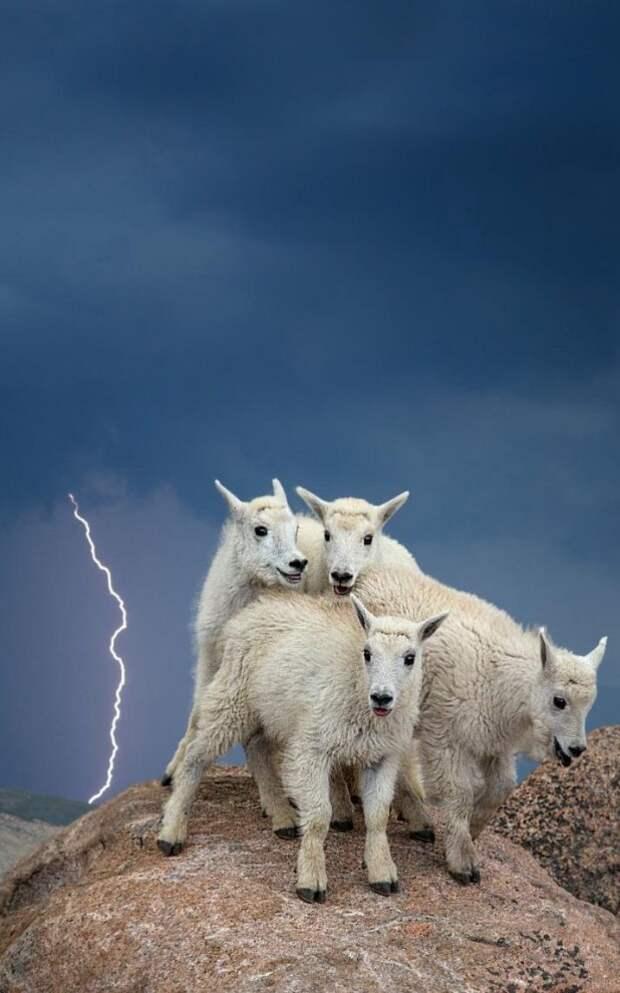 Снежные козы