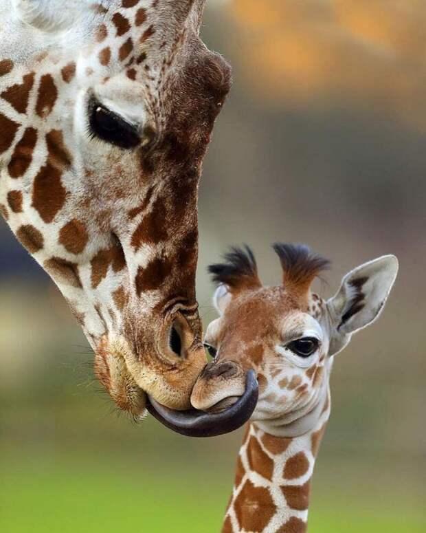Жирафы детеныши, дети, животные, забота, звери