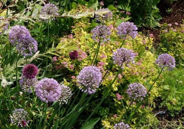 Лук-слизу́н, или Лук поника́ющий (Allium nutans) на цветнике со спиреей