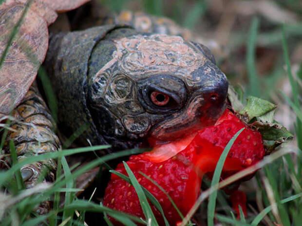 Черепаха поедает клубнику  животное, фрукт, ягода