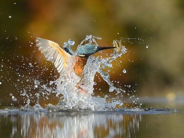 После 6 лет и 720 тысяч попыток фотограф сделал идеальный снимок зимородка