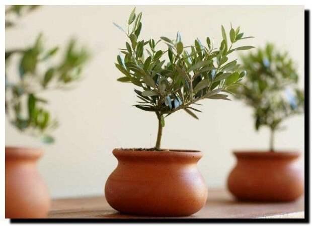Как вырастить оливковое дерево в домашних условиях