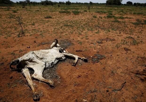 Мёртвая корова