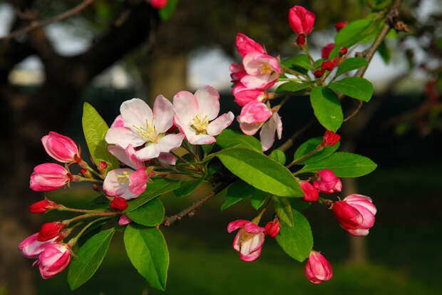 Цветущая яблоня. (Kilo22)