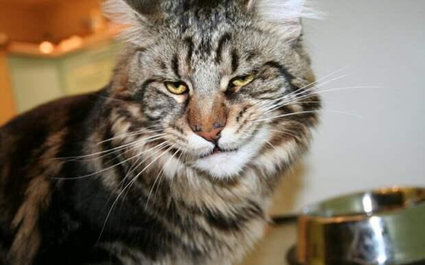 12. Его величество изволит ехидно ухмыляться домашний питомец, животные, забавно, кот, мейн-кун, фото, юмор