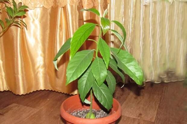авокадо в горшке: Органическое земледелие, пермакультура