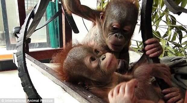 Чудом выживший малыш орангутан впервые встретил себе подобного и… зацеловал его! животные, прикол, юмор